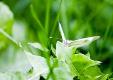 Large white cabbage butterfly or Pieris brassicae. In a green summer grass stock images