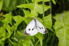 Large white cabbage butterfly or Pieris brassicae. In a green summer grass stock photography