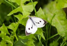 Large white cabbage butterfly or Pieris brassicae. In a green summer grass royalty free stock photos