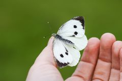 Large white cabbage butterfly or Pieris brassicae sitting on a hand. Large white cabbage butterfly or Pieris brassicae on a hand royalty free stock image