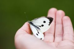 Large white cabbage butterfly or Pieris brassicae sitting on a hand. Large white cabbage butterfly or Pieris brassicae on a hand royalty free stock images
