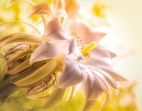 Large white cactus flower. On a blurred yellow background stock photography