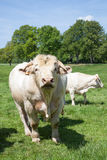 Large white Charolais  beef bull standing facing the camera in a Royalty Free Stock Photos