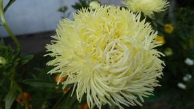 Large white chrysanthemum flower, background. Garden in the flowering period, lush buds, greens, autumn, snow-white, soon to school, bouquet, close-up stock photography