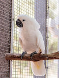 Large white -cocked cockatoo -Cacatua alba - Plyctolophus alba -. Large white-cocked cockatoo -Cacatua alba - Plyctolophus alba - sits on a crossbar near the Royalty Free Stock Image