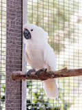 Large white -cocked cockatoo -Cacatua alba - Plyctolophus alba -. Large white-cocked cockatoo -Cacatua alba - Plyctolophus alba - sits on a crossbar near the Stock Images