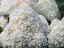 Hydrangeas ready for some close ups. These large white cone shaped hydrangea flowers are just beginning to show some pink color, but these close up photos royalty free stock photography
