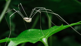 Large white daddy long legs resting on top of green vine leaf in. White large daddy long legs is resting on this green vine leaf in a flower pot in my back yard royalty free stock photography