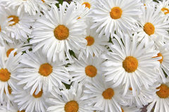 Large white daisies. Royalty Free Stock Photo