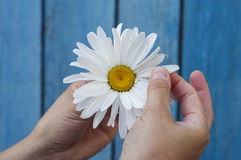 Large white daisy in the hand. Large white daisy for divination in human hand on blue background stock images