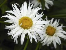 White flower. Large white daisy like flower with spiky petals and yellow center Royalty Free Stock Photos