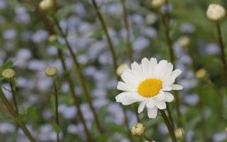 Large white daisy on a blurred background of buds, stems and forget-me-nots royalty free stock image
