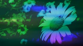 Large white daisy with purple green and blue colour splashes. Daisy photo with angelic colour glow of purple blue and green streaks, a beautiful background for royalty free stock photos