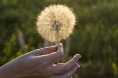 Large white dandelion flower in a female hand. Against of the blurred sunny green background. Flower in the sun stock photos