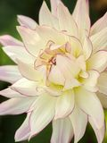 Large white dinner plate dahlia flower with pink edged petals. Close up of large white dinner plate dahlia flower with pink edged petals stock images