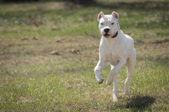 Free Large White Dog Dogo Argentino Running Royalty Free Stock Photo - 115426095