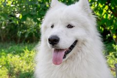 A large white dog is a Samoyed dog. stock photo