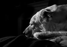 Large White Dog Sleeping On Blanket With Backlight Royalty Free Stock Photos