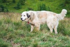 A large white dog walks in nature. Horizontal frame Royalty Free Stock Photo