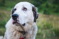 A large white dog walks in nature. Horizontal frame Stock Photo