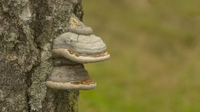 Mushroom on tree. Large white double shelf mushroom growing on the side of a tree Royalty Free Stock Photos