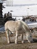Large white draft horse Royalty Free Stock Image