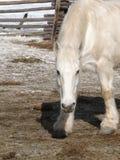 Large white draft horse Royalty Free Stock Photography