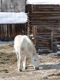 Large white draft horse Stock Image