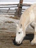 Large white draft horse Royalty Free Stock Photo
