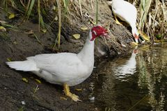 A large white duck at the edge of a pond Royalty Free Stock Image