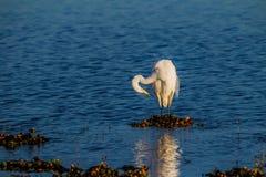 Lovely white egret at dawn Stock Photos