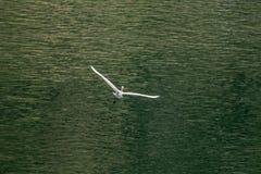 Large white egret flies gracefully over lake Stock Image