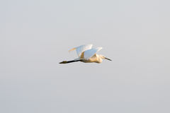 Large white egret swamp bird flying Royalty Free Stock Photo