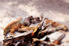 Large white-face iguana with mouth open Royalty Free Stock Images