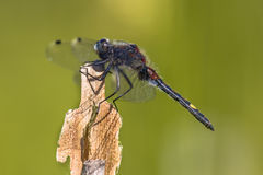 Large white-faced darter perched on reed stick Royalty Free Stock Photo
