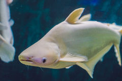 Large white fish with a hump in a tropical aquarium.  Royalty Free Stock Images