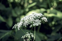 Large white flower on a background of green leaves. Ia a park stock photography