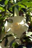 A large white flower in the garden. The sun shines through the white petals of a large flower in the garden of the palace in Morocco stock images