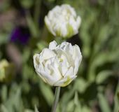 Large white flower lit by the spring sun. On a blurred background of leaves stock images