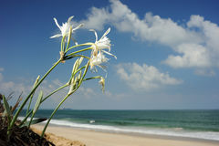 Large white flower Pancratium maritimum. On the sandy shores of the Mediterranean Sea in Israel stock photos