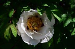 Large white flower peony tree on the bush. Close stock image