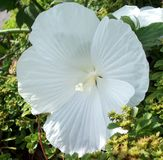 Large White Flower. A single large white flower royalty free stock image