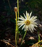 Large white flower. Large flower, white flower, stem, bud royalty free stock photos