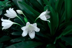 Large white flower of tropical plant in dark green. Colour, nature background royalty free stock photos