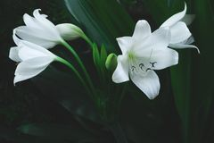 Large white flower of tropical plant Stock Images