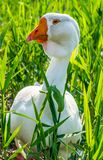 Large white goose in the thickets of high grass. White goose among the green thickets of grass. Bird farm in the village royalty free stock photo