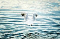 A large white gull hunts on water stock photography