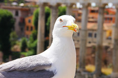 A large white gull with a red stroke around the malicious eye and a beak on which the fluff is stuck. Photo taken in the historical part of Rome, on the Royalty Free Stock Photography