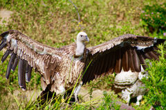Large White Headed Vulture Spreading its Wings. Large Vulture Spreading its Powerful Wings at the San Diego Wild Animal Park in Southern California Royalty Free Stock Photos