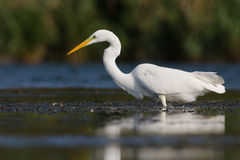 Large white  heron Royalty Free Stock Image